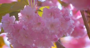 Nahaufnahmetrieb des schönen grünen Baums mit den rosa Blüten, die blühen in, wärmt möglicherweise Jahreszeit im Sonnenschein stock footage