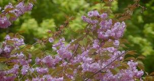 Nahaufnahmetrieb des schönen grünen Baums mit den rosa Blumen, die blühen in, wärmt möglicherweise Jahreszeit stock footage