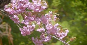 Nahaufnahmetrieb des schönen grünen Baums mit den rosa Blumen, die blühen in, wärmt möglicherweise Jahreszeit stock video footage