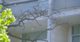 Nahaufnahmetrieb des schönen grünen japanischen Baums, der in der warmen Jahreszeit in den hübschen Vororten blüht stock footage