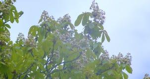 Nahaufnahmetrieb des schönen grünen Kastanienbaums, der blüht in, wärmt möglicherweise Jahreszeit mit bewölktem Himmel stock video footage