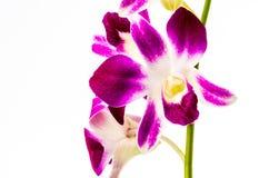 Nahaufnahmevanda-Orchidee auf weißem Hintergrund Stockfoto