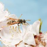 Nahaufnahmewespe auf Blumen des Aprikosenbaums Stockfoto
