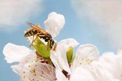 Nahaufnahmewespe auf Blumen des Aprikosenvorfrühlings Lizenzfreie Stockfotografie