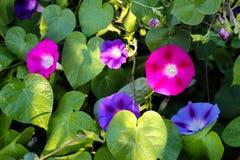 Nahaufnahmewindenblume in einem Garten Unscharfer Hintergrund Lizenzfreie Stockbilder