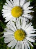 Sunlit Gänseblümchen lizenzfreie stockbilder
