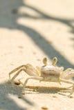 Nahe Ansicht der Krabbe auf sandigem Strand in Malediven Lizenzfreie Stockbilder