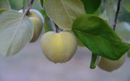 Nahe Ansicht der Quittenfrucht auf dem Baum Stockfotografie