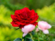 Nahe Ansicht der roten Königin Rose Stockbilder
