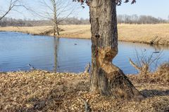 Nahe Ansicht des Baums durch einen See mit schwerem Biberschaden, Winter stockfoto