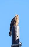 Nahe Ansicht des japanischen Schwarzmilan-Vogels Lizenzfreie Stockbilder