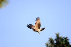 Nahe Ansicht des japanischen Schwarzmilan-Vogels Lizenzfreie Stockfotografie