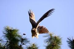 Nahe Ansicht des japanischen Schwarzmilan-Vogels Stockbilder