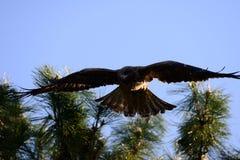 Nahe Ansicht des japanischen Schwarzmilan-Vogels Lizenzfreie Stockfotos
