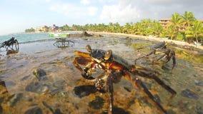Nahe Ansicht von den Krabben, die auf Felsen an der Küste in Sri Lanka gehen stock video