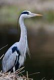 Nahe Ansicht von Grey Heron-Vogel Stockbilder
