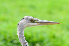 Nahe Ansicht von Grey Heron-Vogel Stockbild
