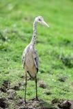 Nahe Ansicht von Grey Heron-Vogel Lizenzfreies Stockbild