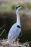 Nahe Ansicht von Grey Heron-Vogel Lizenzfreies Stockfoto
