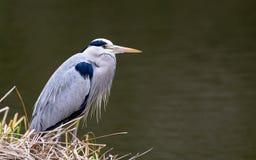 Nahe Ansicht von Grey Heron-Vogel Lizenzfreie Stockfotos