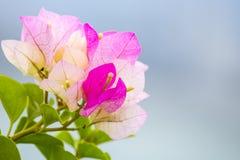 Nahe Ansicht von purpurroten Blumen bouganvilla Stockbilder