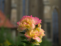 Nahe Ansicht von rosa Blüten der gelben Rosen Stockfoto