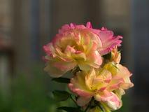 Nahe Ansicht von rosa Blüten der gelben Rosen Stockfotografie