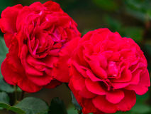 Nahe Ansicht von Victor Hugo rote Rose Stockbilder