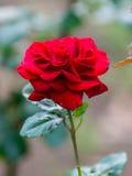 Nahe Ansicht von Victor Hugo rote Rose Lizenzfreie Stockfotos
