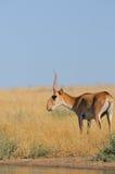 Nahe Bewässerung wilder männlicher Saiga-Antilope in der Steppe Stockbild