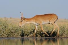 Nahe Bewässerung wilder männlicher Saiga-Antilope in der Steppe Stockfotografie