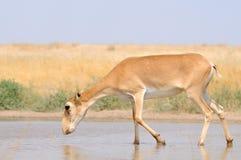 Nahe Bewässerung wilder weiblicher Saiga-Antilope in der Steppe Stockfotografie