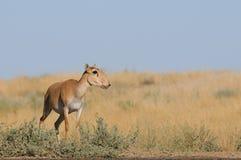 Nahe Bewässerung wilder weiblicher Saiga-Antilope in der Steppe Stockfoto