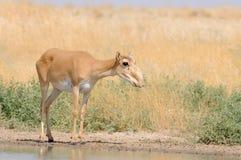 Nahe Bewässerung wilder weiblicher Saiga-Antilope in der Steppe Stockbild