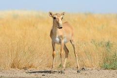 Nahe Bewässerung wilder weiblicher Saiga-Antilope in der Steppe Stockbilder