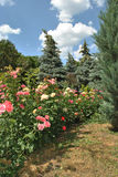 Nahe den Wald-rostut mehrfarbigen Rosen Lizenzfreie Stockbilder