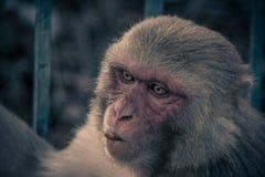 Nahe ehrliche Ansicht des Affegesichtes Affe, der zum linken s schaut Stockbild