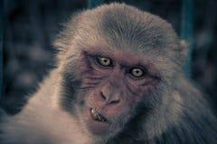 Nahe ehrliche Ansicht des Affegesichtes Affe essen Frucht und das Schauen Lizenzfreie Stockbilder