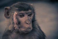 Nahe ehrliche Ansicht des Affegesichtes mit einer Narbe, schauend zum r Lizenzfreies Stockbild