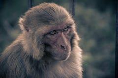 Nahe ehrliche Ansicht des AffeHauptschauens zur linken Seite rhesusfaktor Stockfoto
