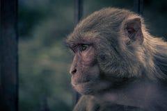 Nahe ehrliche Ansicht des AffeHauptschauens zur rechten Seite rhesusfaktor Lizenzfreies Stockfoto