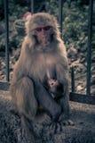 Nahe ehrliche Ansicht des Affen mit dem Baby, das an einem breastRhe hängt Stockbilder