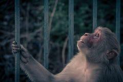 Nahe ehrliche Ansicht des Affen oben schauend zum Himmel RHESUSFAKTOR-MAKAKEN Stockbild