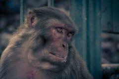 Nahe ehrliche Ansicht des Affen schauend zur linken Seite Rhesusfaktor macaq Stockfotos