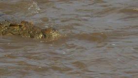 Nahe ehrliche Ansicht einer Krokodilschwimmens im Mara-Fluss des Masais Mara Game Reserve stock video footage