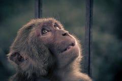 Nahe ehrliche Ansicht von Affeoben Hauptschauen zum Himmel Rhesusfaktormac Lizenzfreie Stockbilder