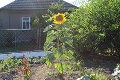 Nahe einem einstöckigen Haus wächst eine große Sonnenblume Lizenzfreie Stockfotos