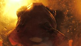 Nahe Gesamtlänge der Kröte stock video footage