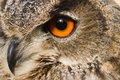 Nahe hohe Adlereule des Auges Stockfotos