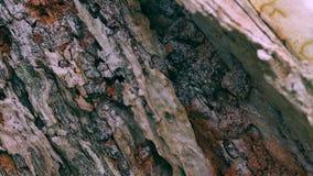 Nahe hohe Ansicht der strukturierten Barke auf gealtertem Baum stock video